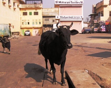 インドの牛とヤギ
