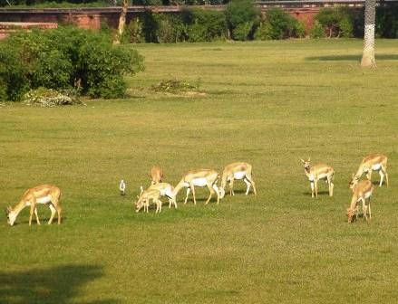 インド アクバル 鹿