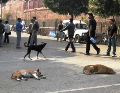 インド 路上の犬