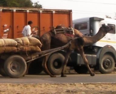 インド 物を運ぶラクダ